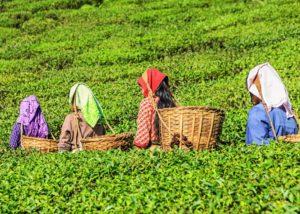 Slope Technology to Improve Tea Plantation